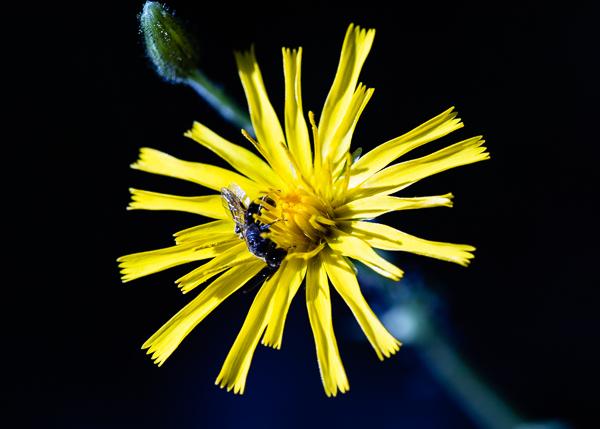 Kukka ja kärpänen-4397.jpg