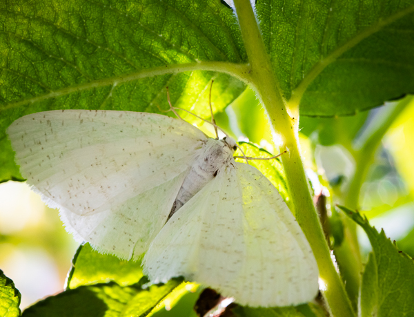 Vaalea perhonen-4414.jpg